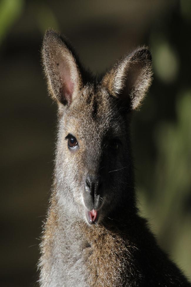 Wallaby2.jpg